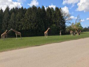 11 Giraffer